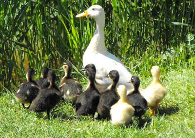 DucksJustDucks.jpg