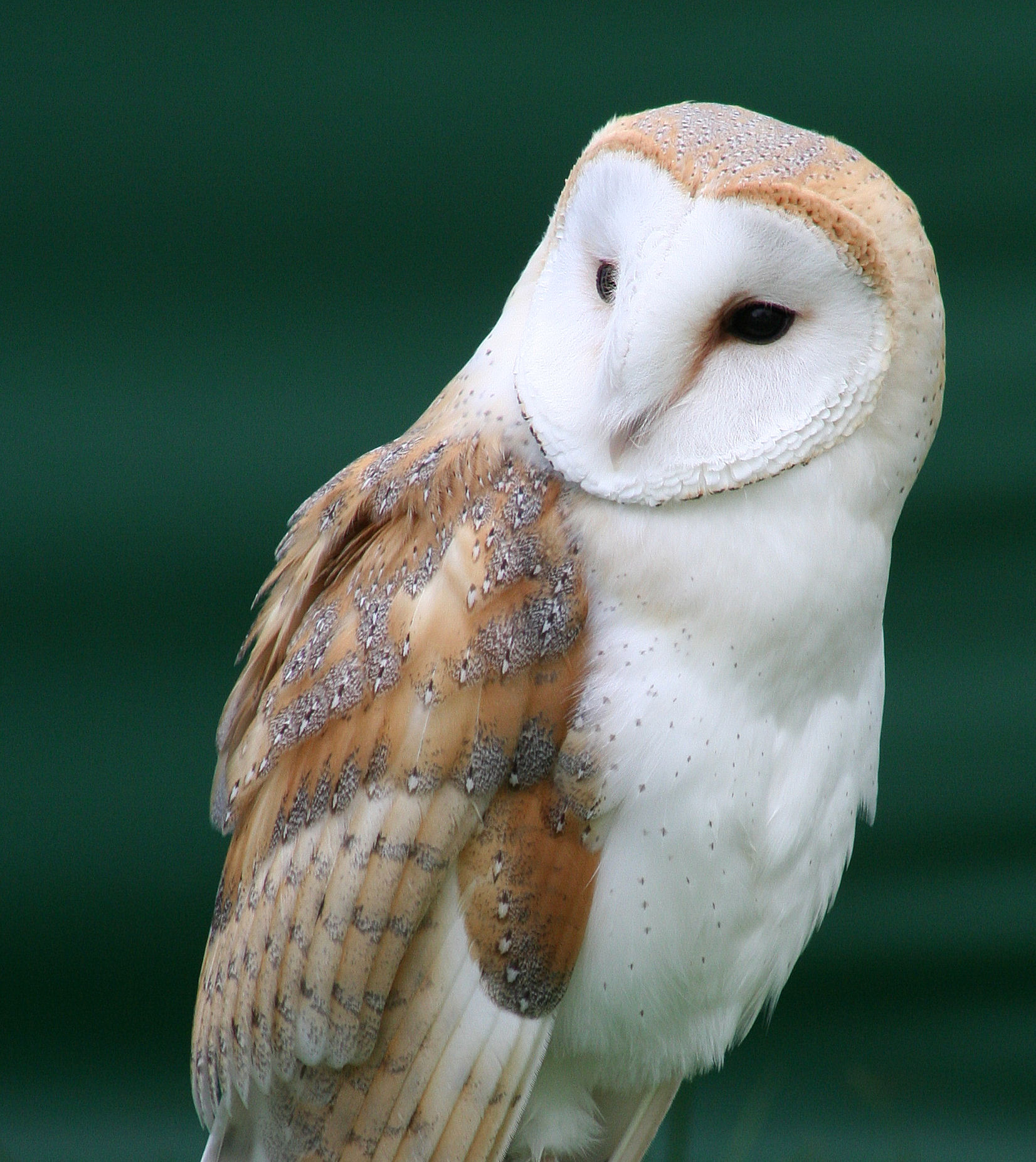 Tyto_alba_close_up.jpg