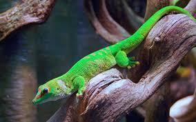 gecko.jfif